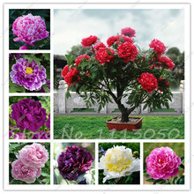15 Pcs Peony Tree Indoor Bonsai Plant Seed,Colorful Double Blooms Rare Chinese Peony Flower Seeds for Home Garden Free Shipping