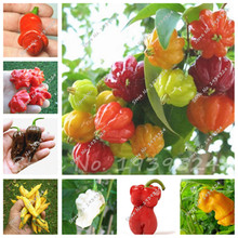 100 pcs/bag Organic Rainbow Bell Pepper seeds(chili seeds), multi colour ,vegetable seeds Non-GMO plant for home garden