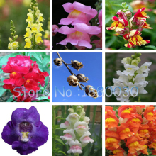 The Death Rose seeds rare and mysterious plant species of snapdragon flower seed pods skull 100 particles / bag(China)