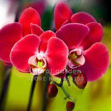 100PCS Red Phalaenopsis Bonsai Butterfly Orchid Flower Seeds Elegant Flower Plant Ornamental flowers Garden(China)
