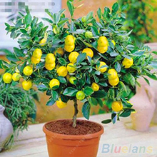 40 pcs/bag Fruit seeds lemon tree juicy organic bonsai tree seeds sour and Sweet lime lemon seeds potted plant for home garden(China)
