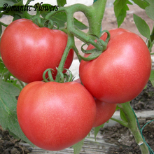 100 Particle/bag Rare Brand Boy Hybrid Rose Pink Big Tomato Seeds, Professional Pack, Tasty Rich Brandywine Flavor Tomato