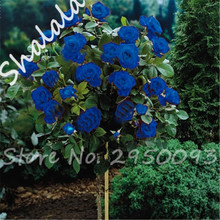 Rare Color Blue Roses Seeds Tree Seeds Bonsai Flower, Happy Farm Potted Plant High Germination 10 Pcs / bag Free Shipping(China)