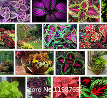 Promotion 100 RAINBOW MIX COLEUS seeds Flower Seeds Novel Seed