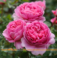 Rare Heirloom Pink Peony Bush Flower for Garden Plant Seeds, 5 Seeds, Very Beautiful Subshrubby Peony Flowers-Land Miracle(China)
