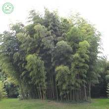 Chinese Bamboo Seeds,Ornamental and edible Plant , rich in Dietary fiber, ideal shade plant, heat resistant 100 PCS f48