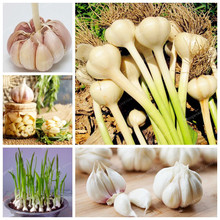 Hot Sale 100Pcs Garlic Seeds Healthy And Delicious Pungent Spice Vegetable Seeds Pure Natural And Organic Vegetable Seeds