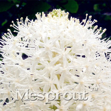 100 pcs Rare Bear Grass Seeds  of Fresh Bulbs,Garden Plants Potted Bonsai Flower Terrace Garden