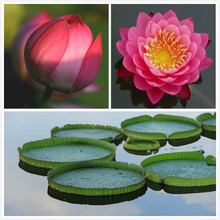 bonsai pink LOTUS SEEDS Nymphaea Caerulea Asian Water Lily Pad Flower Pond Seeds garden decoration plant free shipping 10pcs(China)