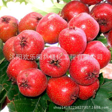 Direct wholesale hawthorn hawthorn fruit quality seed of new varieties of fruit 10 Seeds/Pack