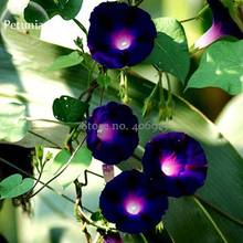 Heirloom Dark Blue Morning Glory with bright eyes Climbing Flowers, 30 Seeds, beautiful ipomoea nil light up garden E3605
