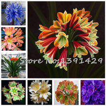 100 pcs=$ 0.09 Cheap Clivia Seeds, Beautiful Potted Plant, 24 Colors to Choose, Bonsai balcony flower, Garden Decoration