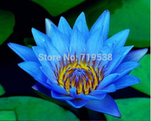 1 Professional Pack,  Dark Blue Nymphaea Caerulea China Water Lily Pad Flower Pond Seeds