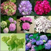 free ship Common hydrangea seed, Balcony Potted flowers hydrangea seed varieties have 24 colors -10 seeds / pack(China)