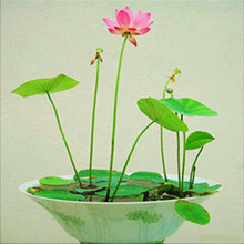 Mix Mini  Flowers Seeds Many colors lotus seeds Teach you plant the Lotus, 8 pieces Water Lily Seeds