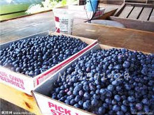 200 american giant blueberry fruit seeds Blue Berry Plants rare fruit tree seeds for home garden planting, Germination 95%+,