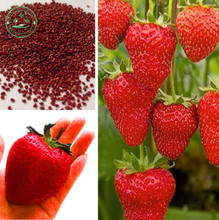 Strawberry Seeds,super Giant Strawberry Fruit Seed Apple Sized 100% True Variety NOT Fake,100 Pcs/bag g59(China)