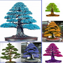 100% True Sacred Japanese Cedar Professional Pack 20 Pcs Semillas Bonsai Seeds