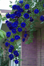 100Pcs Blue Climbing Roses Seeds,Climbing Plants ,Chinese Flower Seeds Perennial Flower Seeds for Garden Planting Gift for Wife(China)