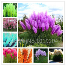 1000PC/package PAMPAS GRASS seeds ,rare purple reed flower seeds for home garden planting