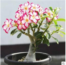 20 seeds/pack Bonsai Flowers New Absorption of Formaldehyde Colorful Desert Rose Seeds adenium obesum seed