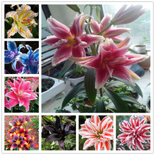 11.11 Promotion! 100pcs perfume Lily Seeds, (not lily bulbs) bonsai flower seeds high quality plant for home garden(China)