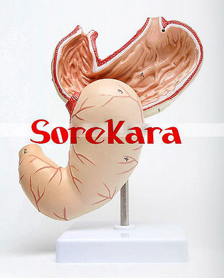 1:1 Human Anatomical Stomach Organ Viscera Medical Art Teach Model School Hospital<br>