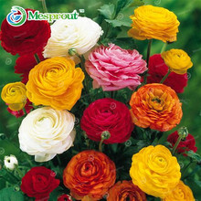 100 seeds/Bag Ranunculus seeds Flower Seeds For Home & Garden DIY Plants Persian Buttercup Seed Flower