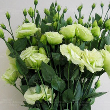 200pcs Rare White Eustoma Seeds Perennial Flowering Plants Balcony Potted Flowers Seeds Lisianthus for FLOWER pot planters