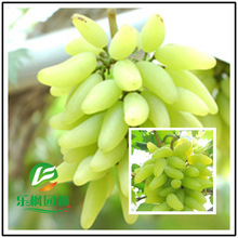 Goldfinger grape seed potted vine seed tender and juicy grape variety 50 seeds / pack(China)