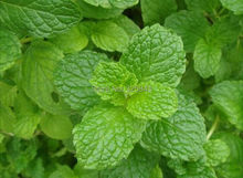 Low sales lemon mint, perennial anti-cold lemon mint, lime mint edible - 40 Seed particles