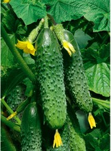 Seeds Cucumber Masha F1 Russian Vegetable Seed Q027