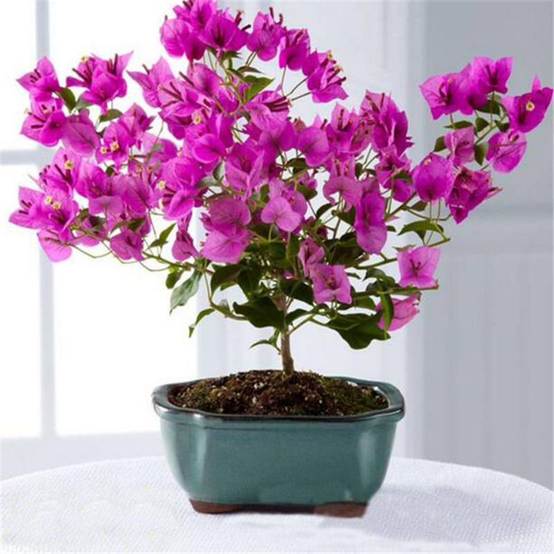 100seeds Potted Flowers Bougainvillea Spectabilis Wind seeds Balcony Bonsai Plant For Garden & Home Four Seasons planting(China)