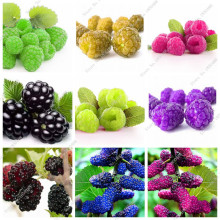 Bonsai Raspberry Mulberry Seed Black Berry Blackberry Perennial Tree Plant Delicious Succulent Fruit Best Gift For Child 400 Pcs(China)