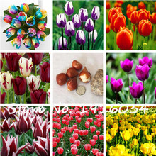 Free Shipping 3Pcs Tulip Bulbs (Not Tulip Seeds)Lily Potted Colors Tulip Fresh Seed Root Bonsai Flower Corms Planted Home Garden