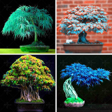 40 Pcs -4 kinds Rare Japanese Maple Seeds,Bonsai Tree Seeds,suit for DIY Home Garden, Free Shipping(China)