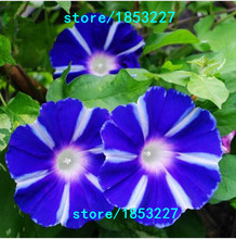 100pcs/bag Picotee  Morning Glory seeds,rare petunia seeds,bonsai flower seeds,plant for home garden Easy to Grow!