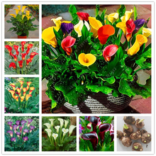 True Good quality calla lily bulbs, (not calla lily seed),balcony bonsai flower bulbs, Pure and noble plant pot - 2 pcs