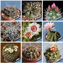 20pcs/lot mixed cactus seed (Gymnocalycium) succulents plants seeds DIY home garden free shipping(China)