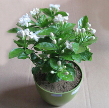 Free shipping Bonsai white jasmine flower seeds, fragrant plant arabian jasmine seeds - 50 particles(China)