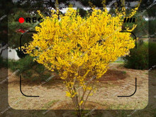 20 Seeds/pack Weeping Forsythia Seeds potted tree seeds,bonsai seeds for sale home garden(China)