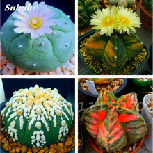 50 Pcs Rare Succulent Plant Living Stone Seeds, Meaty Prickly Pear, Bonsai Flower Seeds, Radiation Absorption For Office Desktop(China)