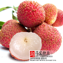 Direct Selling Top Fashion Summer Virgo Lychee Tree Seeds Beauty Fruit Seedlings Seedling Yang Litchi Annona Seed 2Seeds