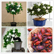 Real Gardenia bulb (Cape Jasmine) bonsai flower bulbs, Exotic Shrub - open pollinate balcony plant pot for home garden 2pcs/bag