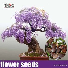 Free shipping 10 particles Mini Bonsai Wisteria Tree Seeds Indoor Ornamental Plants flower Seeds(China)