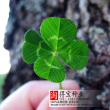 Garden Sementes Clover Seed Home Indoor Easy To Plant Flowers Four - Leaf Lover Valentine Grass Love Seeds 100 Seeds
