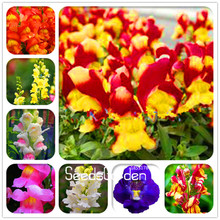 Time-Limit!! 100 Seeds/Bag The Death Rose seeds rare and mysterious plant species of snapdragon flower seed