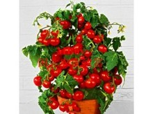 Fruit and vegetable seeds New magenta pearl tomato seeds infinite growth form Can be potted 1 g/bag  of about 100 grains