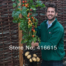 50 Pcs Tom Tato TomTato Seeds Harvest Both Tomatoes AND Potatoes From This Unique plant! All Natural - No GM + Mysterious Gift
