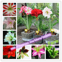 free shipping cheap Amaryllis seeds, Barbados lily potted seed, Bonsai balcony flower seeds for home garden- 100 pcs/bag